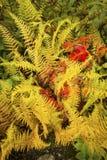 Trillende geel hayscented varens met rode noordelijke esdoornbladeren, Stock Foto