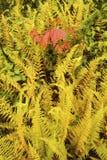 Trillende geel hayscented varens met rode noordelijke esdoornbladeren, Stock Foto's