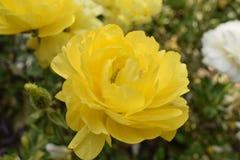 Trillende geel nam toe Royalty-vrije Stock Foto