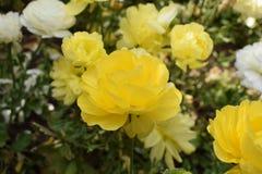 Trillende gele rozen Stock Foto's