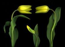 Trillende gele tulpen Royalty-vrije Stock Afbeeldingen