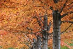 Trillende Kleurenbladeren op bomen bij de gouden Herfst Royalty-vrije Stock Fotografie