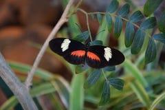 Trillende oranje en zwarte vlinder Stock Foto's