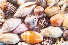 Trillende overzeese shells achtergrond Micro- shells close-up Overzeese shell bannermalplaatje Stock Foto's