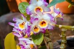 Trillende purpere witte en gele orchideeën in bloei in een serre stock afbeelding