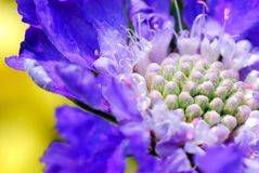 Trillende Purple, Fuzzy Flower Against Beautiful Yellow-Achtergrond Royalty-vrije Stock Fotografie