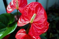 Trillende Rode Anthuriumbloemen stock foto's