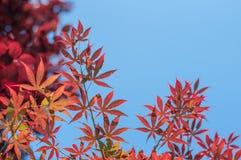 Trillende rode esdoornbladeren Stock Fotografie