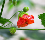Trillende rode papavers, natuurlijke achtergrond Stock Afbeeldingen