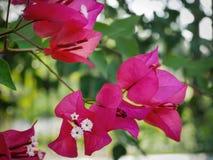 Trillende Roze Bougainvilleabloem bij de Tuin stock foto's