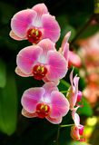 Trillende roze orchideeën stock afbeelding