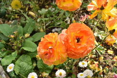 Trillende sinaasappel gekleurde bloem Stock Foto