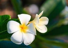 Trillende witte plumeriabloemen Stock Afbeelding