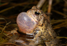 Trilling American Toad. A male American Toad trills a prolonged mating call in the dark of night in a midwestern marsh stock photography