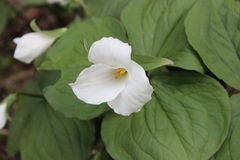 trillium Fotos de Stock Royalty Free