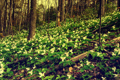 Trillium bed Growing on a Forested Hillside.  - Retro Royalty Free Stock Images