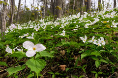 Trillium bed - Horizontal Wide Stock Photo