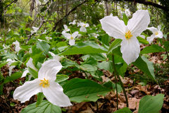 Trillium Bed - low angle Royalty Free Stock Photography