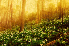 Trillium Bed in the Morning Mist Stock Photo