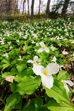 Trillium bed - Vertical Wide Royalty Free Stock Image