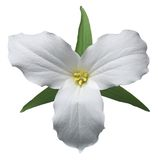 Trillium bianco Fotografia Stock Libera da Diritti