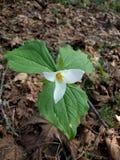 Trillium blanc photographie stock libre de droits