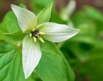 Trillium blanc en fleur photos stock