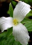 Trillium blanco fotografía de archivo