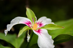 Trillium blanco y rosado Foto de archivo