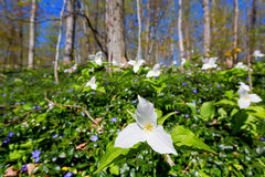 Trillium in Bloom Stock Images