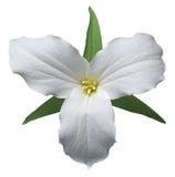 Trillium branco Foto de Stock Royalty Free