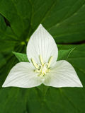 Trillium in fioritura Fotografie Stock
