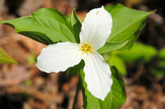 Trillium flower. Royalty Free Stock Images