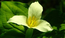 Trillium flower Royalty Free Stock Photo