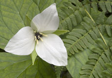 Trillium Flower and Ferns. A single Trillium (Liliaceae) flower and ferns Stock Photography