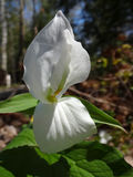Trillium Flower Unfolds Stock Photography