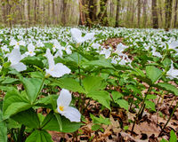 Trillium Forest Stock Images