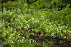 Trillium giallo & Phacelia, grande Mtns fumoso NP Fotografia Stock Libera da Diritti