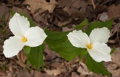 Trillium Gran-fiorito immagini stock libere da diritti