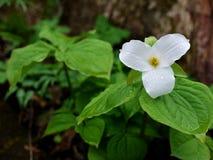 Trillium Grande-florecido (grandiflorum del Trillium) Fotografía de archivo