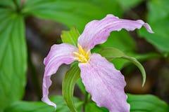 Trillium Grande-floreciente - grandiflorum del Trillium fotos de archivo libres de regalías