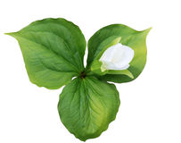 Trillium grandiflorum Stock Photos