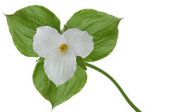 Trillium grandiflorum Royalty Free Stock Photos