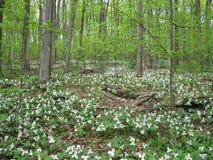 Trillium grandiflorum. Magical carpet of spring flowers (trillium grandiflorum) in a provincial park in Quebec (Canada royalty free stock photography