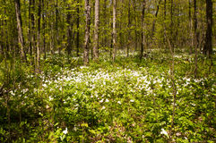 Trillium Grandiflorum in a Hardwood Forest. Trillium flowers carpet the floor of a hardwood forest. Southern Ontario, Canada. The Trillium is the flower of the Stock Photo