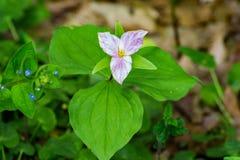 Trillium grandiflorum - Large-flowering Trillium. Large-flowering Trillium grows to 18 in. and has thee white petals that turn pinkish with age royalty free stock photography