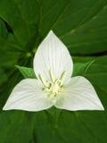 Trillium i blom arkivfoton