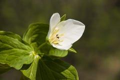 Trillium kamchatkan (camschatcense del Trillium) Fotos de archivo libres de regalías