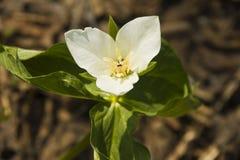 Trillium kamchatkan (camschatcense del Trillium) Imagenes de archivo
