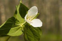 Trillium kamchatkan (camschatcense del Trillium) Fotografía de archivo